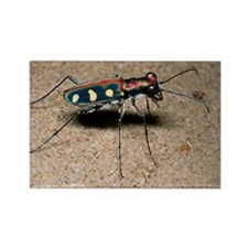 Tiger beetle - Rectangle Magnet (10 pk)