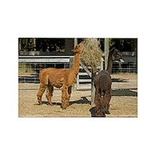 Alpacas - Rectangle Magnet (100 pk)