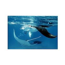 Giant manta rays - Rectangle Magnet (100 pk)