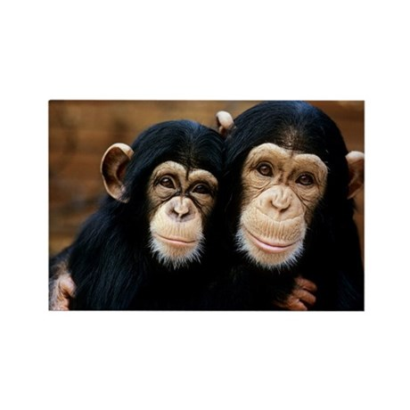 Chimpanzees - Rectangle Magnet (100 pk)
