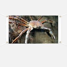 Great spider crab - Banner