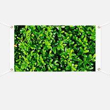 Littleleaf box (Buxus microphylla) - Banner