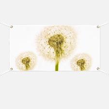 Dandelion seed heads - Banner