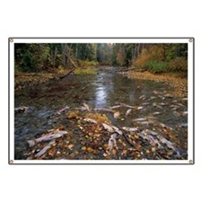 Sockeye salmon spawning - Banner