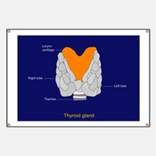 Thyroid gland, artwork - Banner