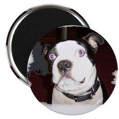 BLUE EYED BOSTON TERRIER DOG Magnet
