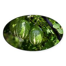Malabar gourd fruit - Decal