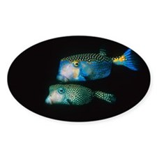 Whitespotted boxfish - Decal