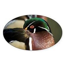 Wood duck - Decal