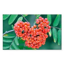 Rowan berries - Decal