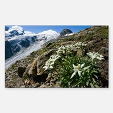 Edelweiss and glacier - Decal