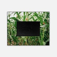 Maize crop - Picture Frame