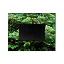 Korean fir (Abies koreana) - Picture Frame