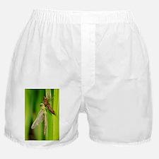 Emperor dragonfly metamorphosis - Boxer Shorts