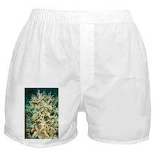 Hard coral - Boxer Shorts
