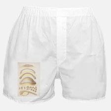 Vertebrate development, artwork - Boxer Shorts