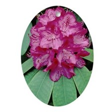 Rhododendron 'Cynthia' - Oval Ornament