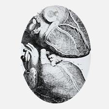 Heart anatomy, 18th century - Oval Ornament