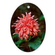 Brazilian plume (Justicia carnea) - Oval Ornament