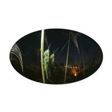 Locusts mating at sunset Oval Car Magnet