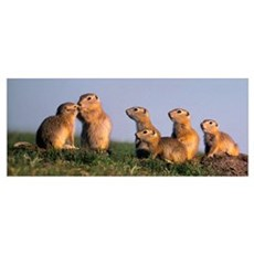Fv3553, Natural Moments Photography; Prairie Dogs Poster