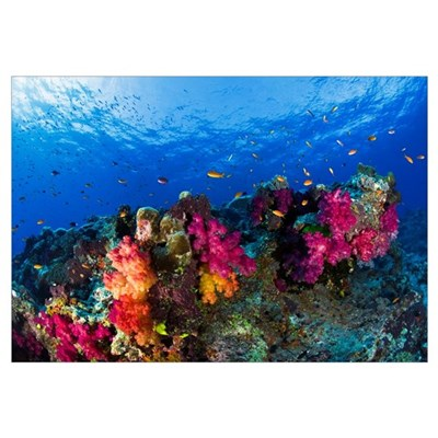 Soft Corals On Shallow Reef, Fiji Canvas Art