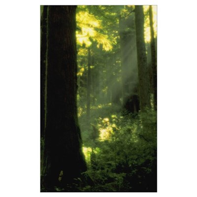 Sunbeams In Forest Of California Redwoods Poster