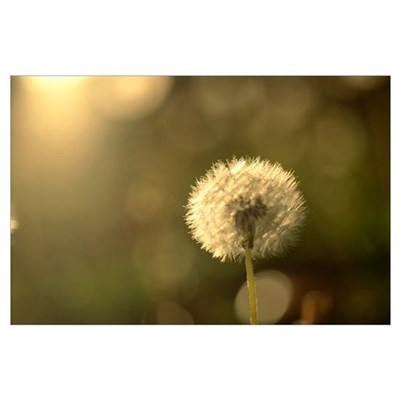 Close-Up Of Single Dandelion, Soft Focus With Gold Poster
