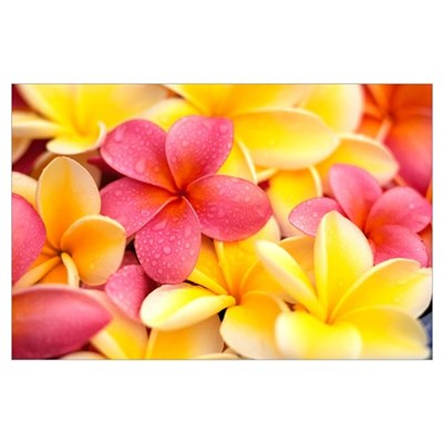 Close-Up Of Yellow And Pink Plumeria Flowers, Wate Poster