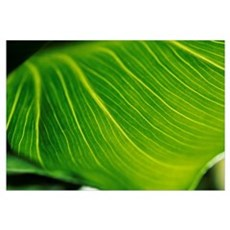 Extreme Close-Up Of Calla Lily Leaf Canvas Art