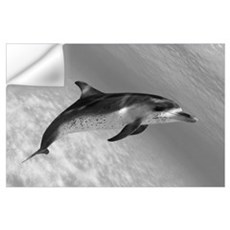 Atlantic Spotted Dolphin (Stenella Plagiodon) In S Wall Decal
