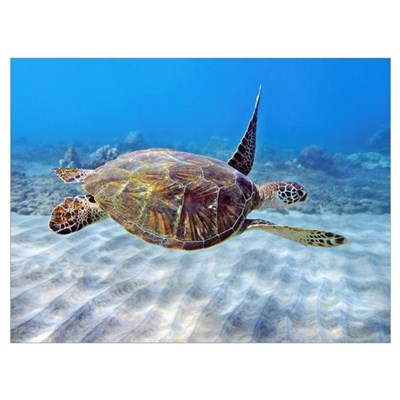 Hawaii, Green Sea Turtle (Chelonia Mydas) An Endan Canvas Art