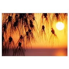 Hawaii, Silhouetted Branches Of Ironwood Pine, Ora Poster