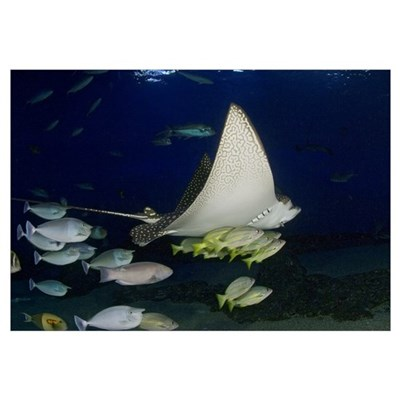 Hawaii, Spotted Eagle Ray (Aetobatis Narinari) And Framed Print