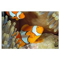 Indonesia, Clownfish Guards Egg Mass (Amphiprion P Poster