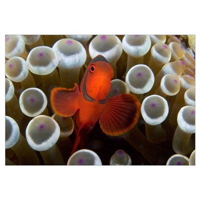 Indonesia, Male Spine-Cheek Clownfish Within Sea A Canvas Art