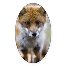 Portrait of young male Red Fox (Vul Decal