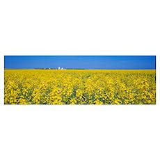 Canola field, Saskatchewan, Canada Poster