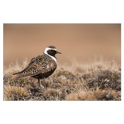 American Golden-Plover Stands On Tundra, National Poster