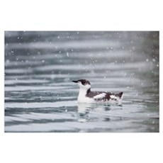 Marbled Murrelet With Winter Plumage, Prince Willi Poster