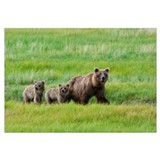 Bears in alaska Framed Prints