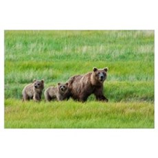 Brown Bear Walks With Her Cubs In A Meadow, Lake C Poster