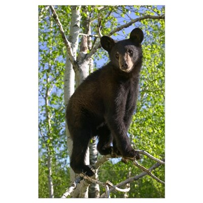 Black Bear Cub In Tree, Minnesota Poster
