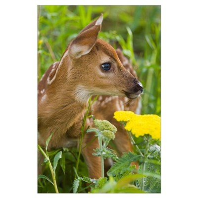 White-Tailed Deer Fawn In Wildflowers and Tall Gra Poster