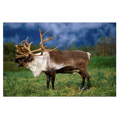 Caribou At Alaska Wildlife Conservation Center, So Poster