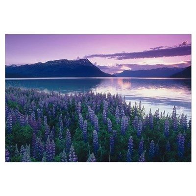Field of Lupine near Turnagain Arm at Sunset, Sout Framed Print
