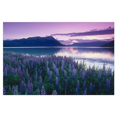 Field of Lupine near Turnagain Arm at Sunset, Sout Poster