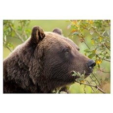 An Adult Brown Bear Amongst Green Brush, Southcent Framed Print