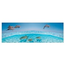 Bottlenose Dolphin Jumping While Turtles Swimming  Framed Print