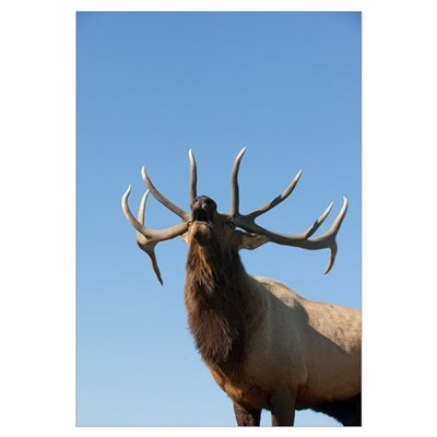A Rocky Mountain Bull Elk Bugling During The Autum Framed Print